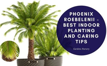 Phoenix roebelenii - Best Indoor Planting and Caring Tips