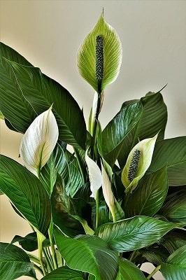 peace lilies ornamental plants flower