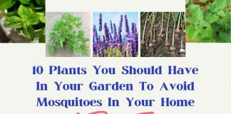 10 Plants You Should Have In Your Garden To Avoid Mosquitoes In Your Home