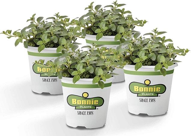 Bonnie Plants 4P5081 Peppermint Live Edible Aromatic Herb Plant