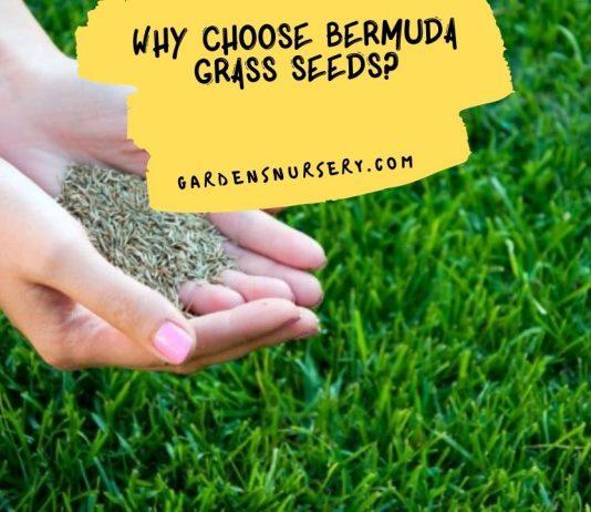 Why Choose Bermuda Grass Seeds