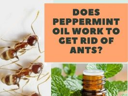 Does Peppermint Oil Work to Get Rid of Ants