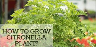 How to grow citronella plant at your home