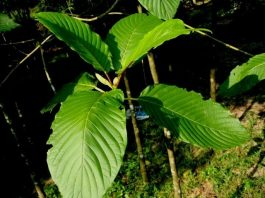 Tips and Tricks for Growing Kratom in a Greenhouse