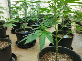 4 Reasons to Grow Your Own Cannabis