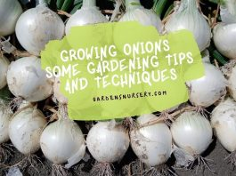 Growing Onions Some Gardening Tips and Techniques