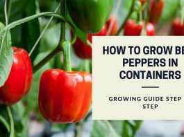 How to Grow Bell Peppers in Containers - Growing Guide Step By Step