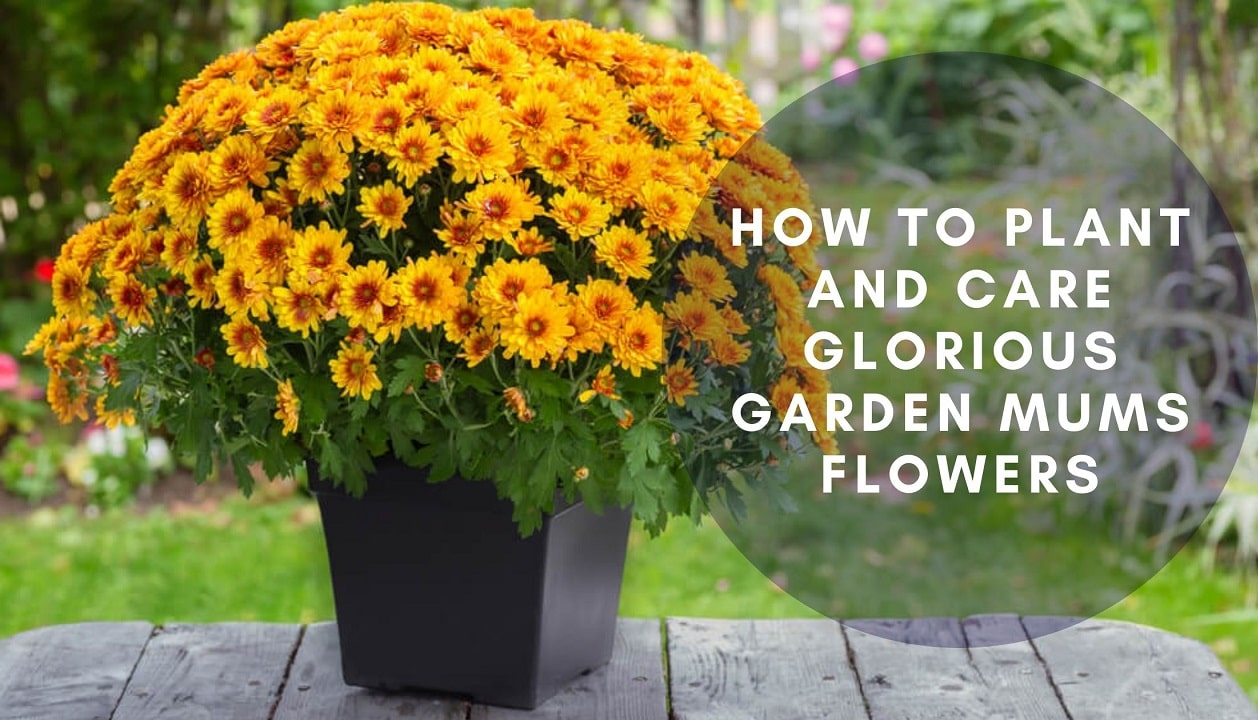 How To Plant And Care Glorious Garden Mums Flower