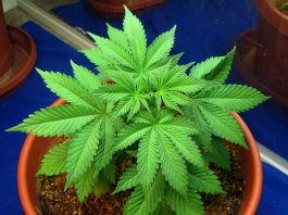 Top 4 Steps Guide to Grow Cannabis Plants