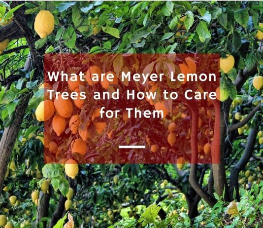 What are Meyer Lemon Trees and how to Care for Them