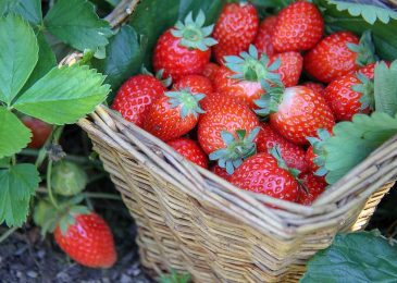 How to Grow Strawberries Easily? Step by Step Gardening Guide