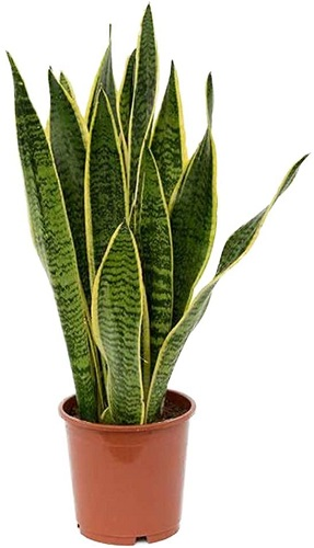 American Plant Exchange Sansevieria Trifasciata Snake Laurentii Live Plant, 6 Pot, Green