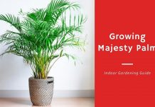 Growing-Majesty Palm-Indoor Gardening-Guide