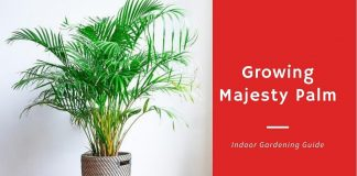 Growing Majesty Palm Complet Indoor Gardening Guide