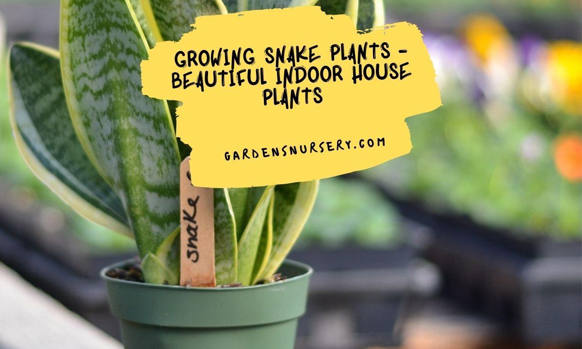Growing Snake Plants - Beautiful Indoor House Plants