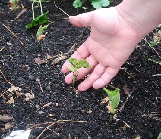 How Do You Fertilize a Vegetable Garden