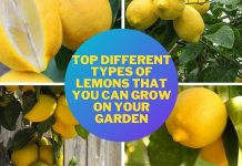 Top Different Types of Lemons that you Can Grow on your Garden