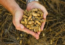 Top Tips to Growing your Own Peanuts