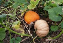 How to Grow Pumpkins In you Home Garden