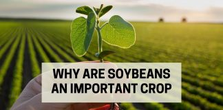 Why Are Soybeans An Important Crop