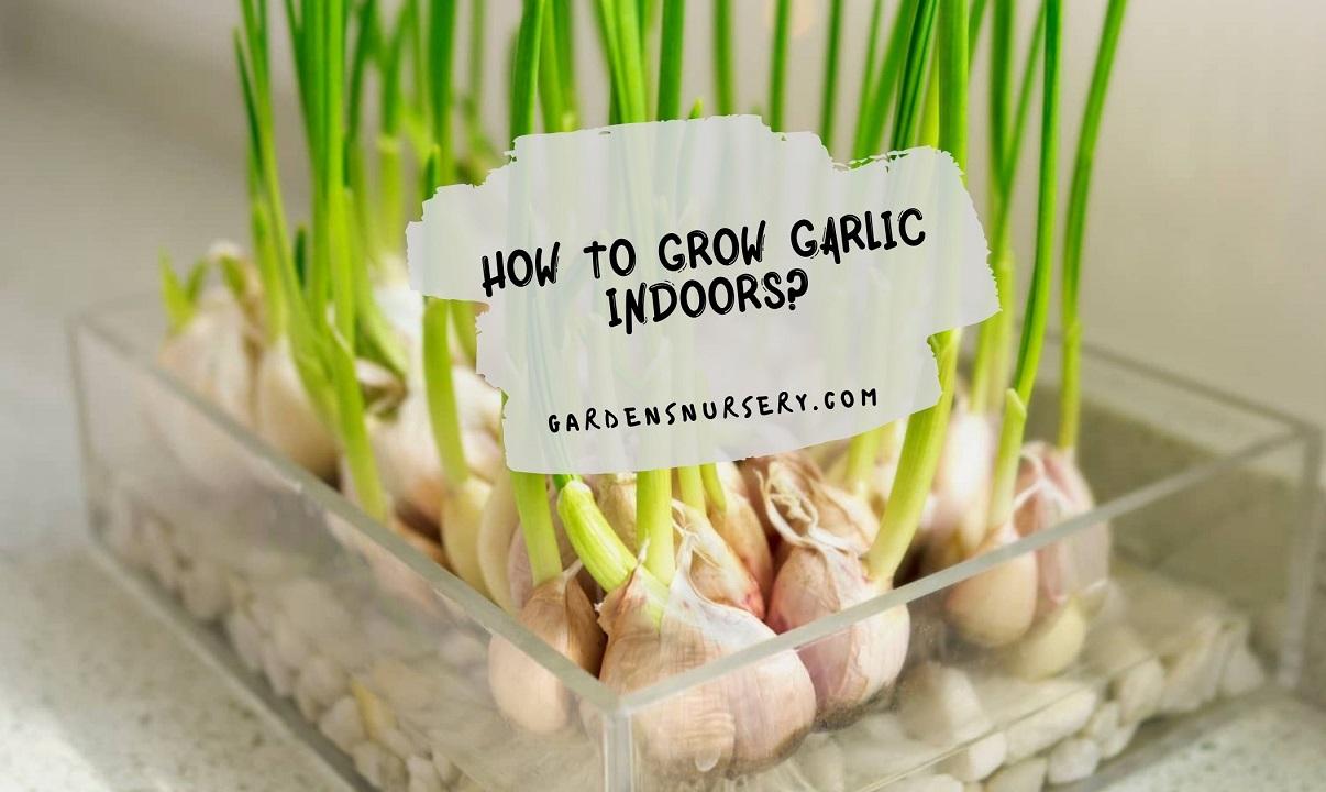 How to Grow Garlic Indoors