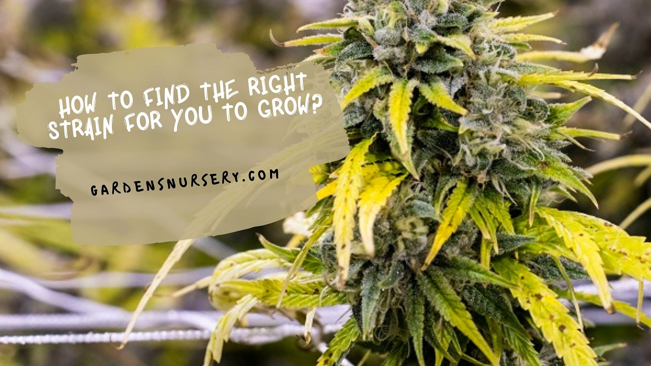 How To Find the Right Strain for You To Grow