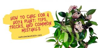 How to Care for a Hoya Plant Tips, Tricks, and Common Mistakes