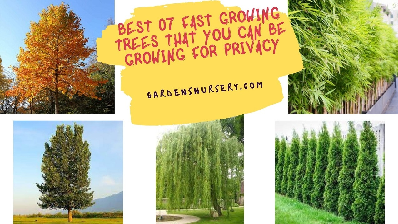 Best 07 Fast Growing Trees That You Can Be Growing For Privacy