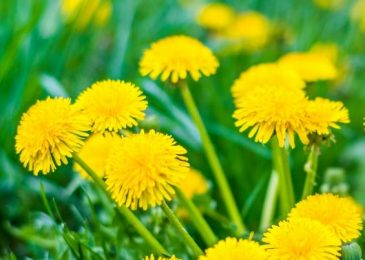Fighting Dandelions in Your Lawn the Natural Way