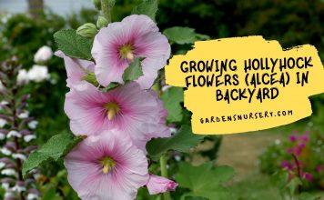 Growing Hollyhock Flowers (Alcea) In Backyard