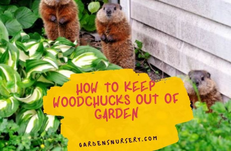 How To Keep Woodchucks Out Of Garden