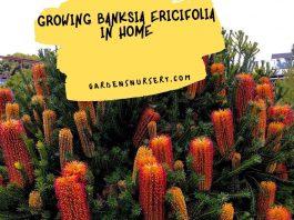 Growing Banksia Ericifolia in Home