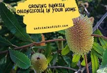 Growing Banksia Oblongifolia In Your Home