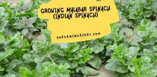 Growing Malabar spinach (Indian spinach)