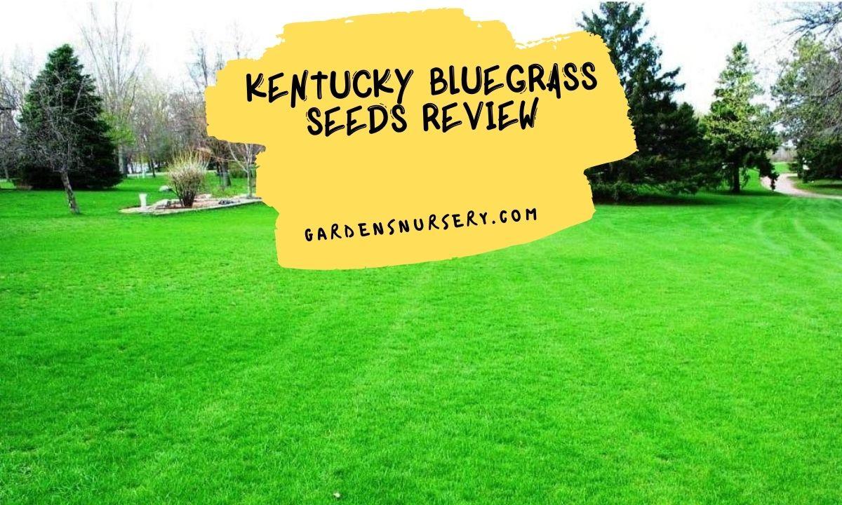 Kentucky Bluegrass Seeds Review