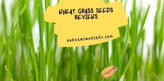 Wheat Grass Seeds Reviews