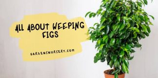 All About Weeping Figs