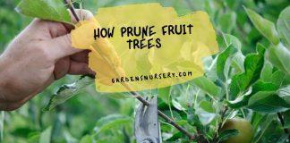 How Prune Fruit Trees