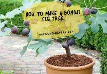 How To Make A Bonsai Fig Tree