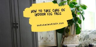 How to Take Care of Indoor Fig Tree