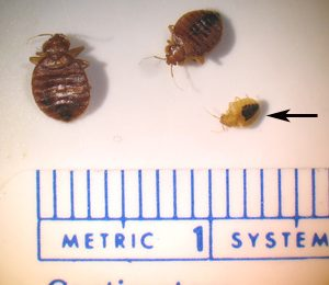 Typical Bed Bugs Size
